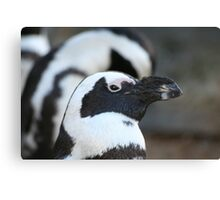 Black-footed Penguin  Canvas Print