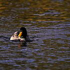 Lonely duck in Tehidy Country Park, Cornwall, UK by MungoPL