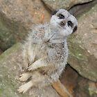 Slender Tailed Meerkat  by BeckiBee