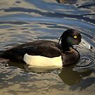 Tufted duck by larry flewers