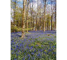 british bluebells Photographic Print