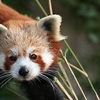 Red Panda  by BeckiBee
