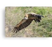 White backed vulture in flight Canvas Print