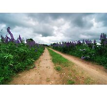 Lupin Path Photographic Print