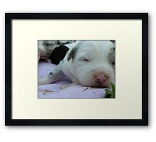 George. Just two weeks old. Blue merele Border Collie X Kelpie Framed Print