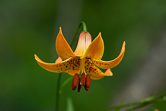 Canada Lily by Mike Oxley