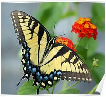 Butterfly Blue and yellow! Poster