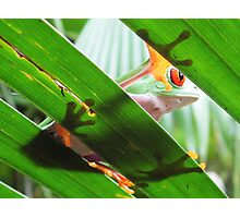 Red eyed green tree frog 2 Photographic Print