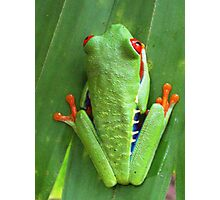 Red eyed green tree frog 3 Photographic Print
