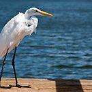 American Egret by Zeanana