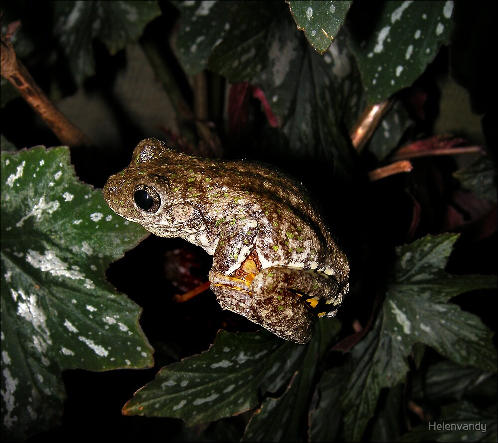 Emerald spotted tree frog by Helenvandy