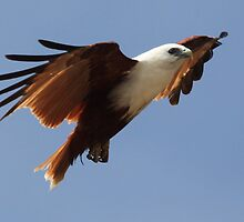 ''Red-backed Sea Eagle'' Brahiminy Kite by bowenite