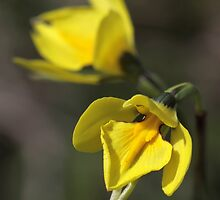 Behr's Cowslip Orchid - Under Threat from Development by LeeoPhotography
