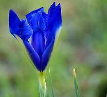 Blue Iris by Maryanne Lawrence