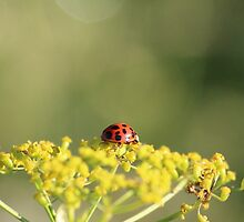 Ladybird on a wild flower. by HelgaScand