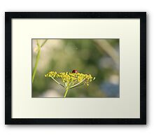 Ladybird on a wild flower. Framed Print