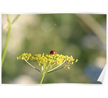 Ladybird on a wild flower. Poster