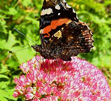 Red Admiral under wing detail by WOBBLYMOL
