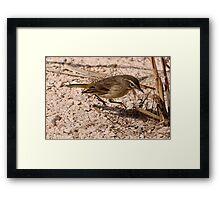 Juvenile Myrtle Warbler Framed Print