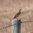 Eastern Meadowlark by Larry Trupp