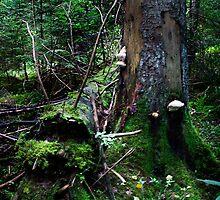 Wild forest (fir) by Antanas