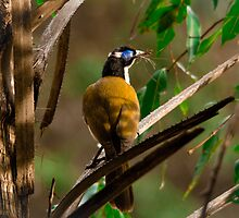 Blue-faced Honeyeater by Vesupria