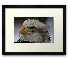 The Bald Eagle Framed Print