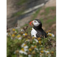 A pensive puffin Photographic Print