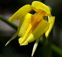 ~ Behr's Cowslip Orchid ~ by LeeoPhotography