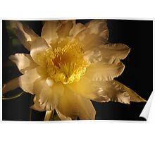 giant night blooming dragon fruit cactus Poster