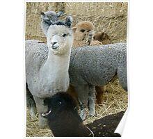Alpaca Party Poster