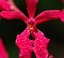 scarlet orchid flower by Brian Puckey