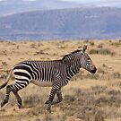 Cape Mountain Zebra by Rob  Southey