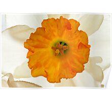 Daffodil Flower Poster