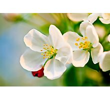 Crab Apple Blossoms Photographic Print