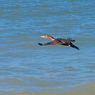 Cormorant in flight  by ♥⊱ B. Randi Bailey