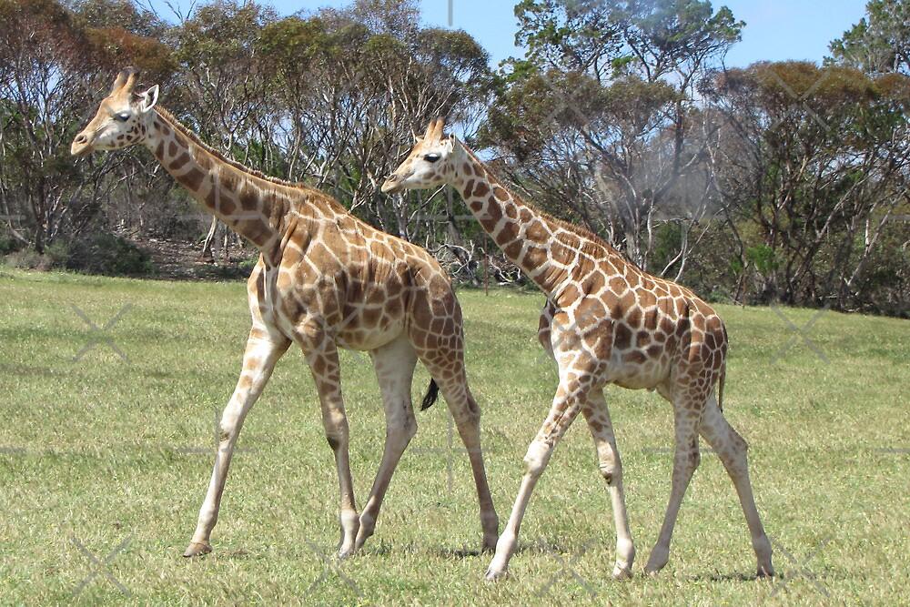 Giraffes - right, we'll go this way then! by georgiegirl