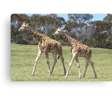 Giraffes - right, we'll go this way then! Canvas Print