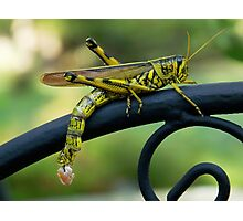 Obscure Bird Grasshopper with Egg Pods Photographic Print