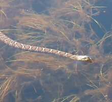 Northern Watersnake- Nerodia sipedon- Couleuvre d'eau by Tracy Faught
