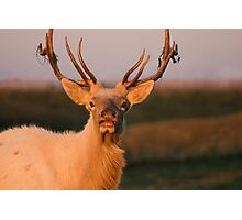 Bugling White Bull Elk in Montana Photographic Print