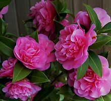 Pink Camellias at Starbuck's. by Marjorie Wallace