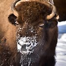 Bison with a Face Full of Snow by cavaroc
