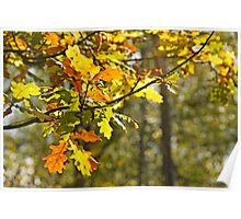 Sun light through oak leaves. Poster