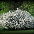 A Unique Lilac Tree by Linda Miller Gesualdo