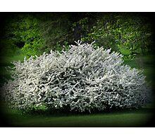 A Unique Lilac Tree Photographic Print