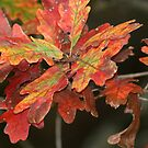 Oh! Those COLORFUL OAK leaves!!! by Ruth Lambert