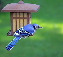 Blue Jay Snack Time by jenndes