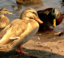 (Tan Colored) Female Mallard by Aaron Campbell