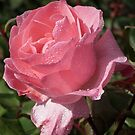 Dew on a pink rose (especially good as a card). by Philip Mitchell